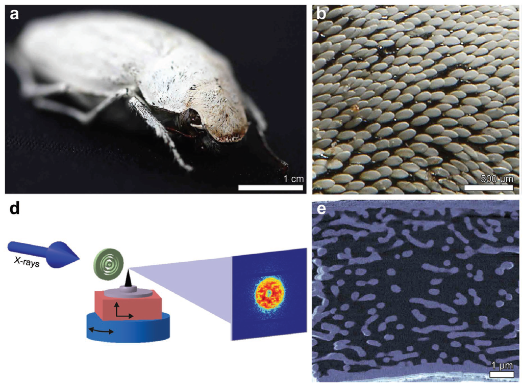 """Evolutionary-Optimized Photonic Network Structure in White Beetle Wing Scales"" is published in Advanced Materials"